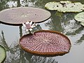 Victoria amazonica - Giant Water Lily at Nilambur (3).jpg