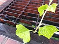Vine growing out of a grate.jpg