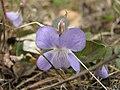 Viola canina Фиалка собачья IMG 3211.jpg