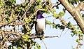 Violet-backed Starling (Cinnyricinclus leucogaster) (45672417075).jpg