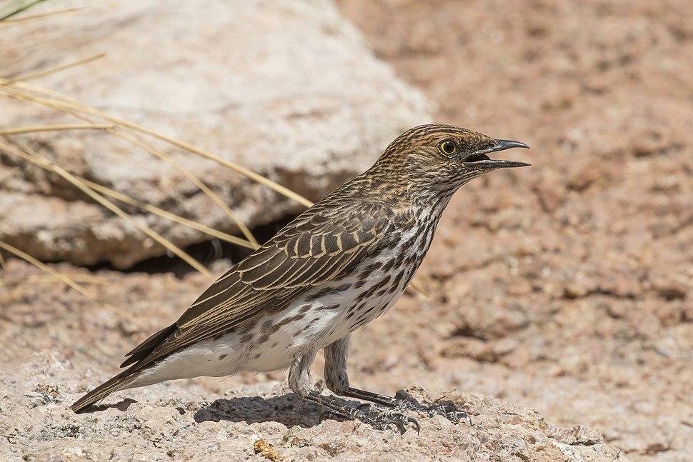 Violet-backed starling (Cinnyricinclus leucogaster verreauxi) female