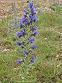 Viper's Bugloss (Echium vulgare) - geograph.org.uk - 486060.jpg