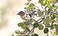 Virginias Warbler (Leiothlypis virginiae) (2).jpg