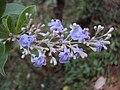 Vitex trifolia 04.JPG