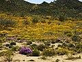 Wüstenblüte Namaqualand, Goegap N.R. (0037).jpg