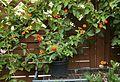 Wandelröschen (Lantana camara) orange-rot (9478763136).jpg