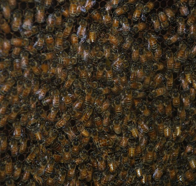 File:Washington DC Zoo - bees 2.jpg