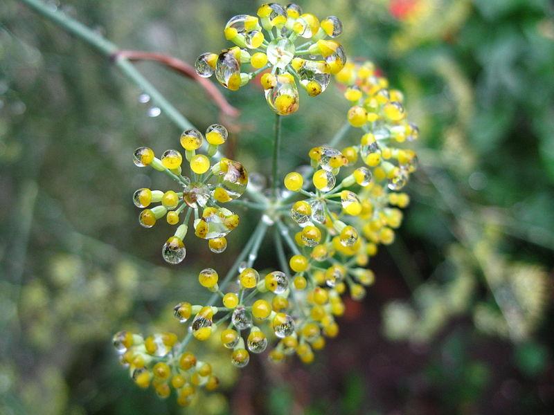 File:Water droplets in Foeniculum vulgare flowers - Gotas de auga en flores de fiuncho - 01.JPG