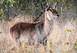 Waterbuck in South Africa.JPG