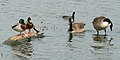 Waterfowl at Chalco Hills.jpg