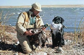 Waterfowl hunting - A duck hunter with two mallards and one redhead. A Labrador Retriever and duck decoys are visible in the background.