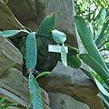 Weberocereus bradei-IMG 0219.jpg