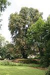Weiler Schlosspark Kastanie 20120729 02.jpg