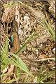 Western Fence Lizard (3599374259).jpg