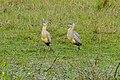Whistling Herons (Syrigma sibilatrix) (28460986084).jpg