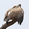White-backed Vulture, Gyps africanus, at Kgalagadi Transfrontier (46112753282).jpg