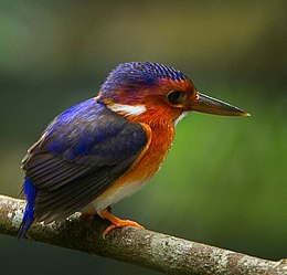 White-bellied Kingfisher - Ghana S4E2155 (cropped).jpg