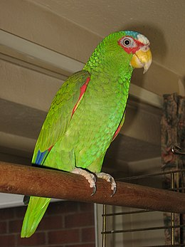 White-fronted Amazon-Amazona albifrons-pet on a perch.jpg