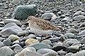 White-rumped Sandpiper (Calidris fuscicollis) - Witless Bay, Newfoundland 2019-08-09 (02).jpg