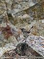 White-tailed Rubythroat (Luscinia pectoralis) (36385226995).jpg