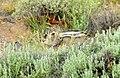 White-tailed jackrabbit on Seedskadee National Wildlife Refuge 02 (14430633280).jpg