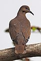 White-winged Dove - Zenaida asiatica, Castellow Hammock Nature Park, Homestead, Florida (25598210597).jpg