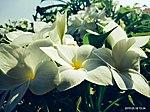 White Flowers 3.jpg