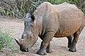 White Rhino (Ceratotherium simum) (31311447053).jpg