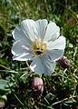 White flower (7036057099).jpg