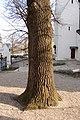 Wiener Naturdenkmal 80 - Stieleiche(Döbling) c.jpg