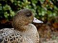 Wigeon (Anas penelope) duck head.jpg