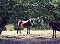 Wild Exmoor Ponies.jpg