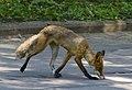 Wild fox in Sokolniki park - Moscow, Russia - panoramio.jpg
