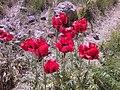 Wild poppy, Lar dam دشت لار- شقایق وحشی نزدیک امامزاده - panoramio.jpg