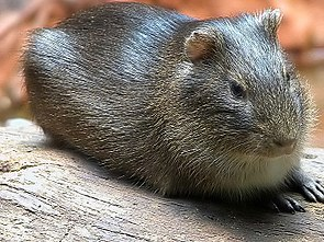 Wildmeerschweinchen (Cavia aperea)