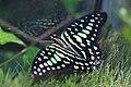 Wilhelma Geschweifter Eichelhäher Graphium agamemnon 0536.jpg
