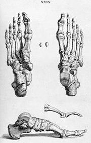 The bones of the human foot