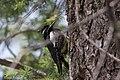 Williamson's Sapsucker (male) Forest Rd 42 Loop Chiricahuas Portal AZ-87 (35036994024).jpg