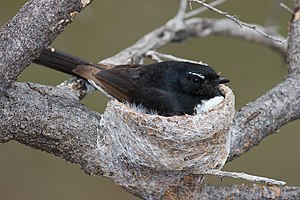 Willie Wagtail in nest