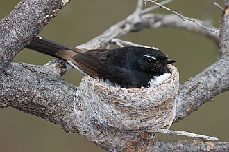 Willie wagtail - Willie wagtail incubating its eggs