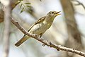Willow warbler, Phylloscopus trochilus, at Marakele National Park, Limpopo, South Africa (45938438904).jpg