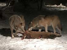 Two Gray Wolves Eating A White Tailed Deer
