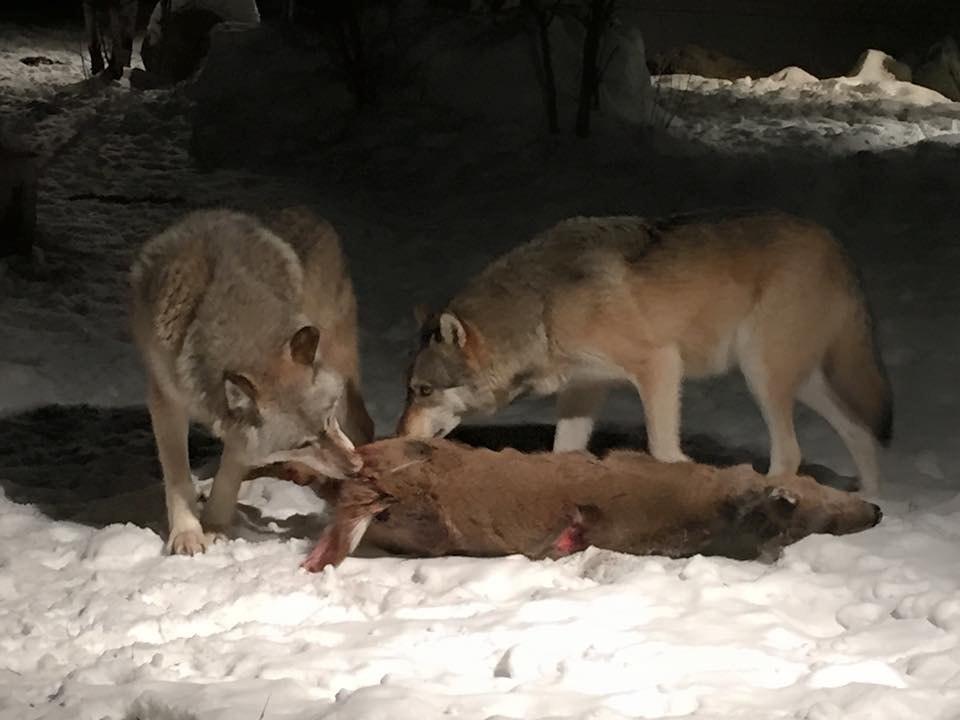 Wolves eating deer.jpeg