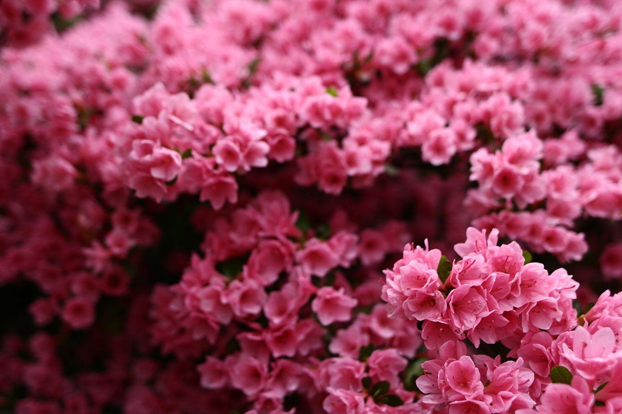 Filewonderful Spring Pink Flower Bush West Virginia
