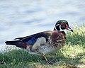 Wood duck (48135728811).jpg