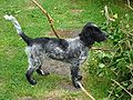 Working type english cocker spaniel.jpg