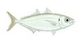 XRF-Selar crumenophthalmus.png