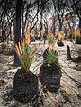 Xanthorrhoea regrowth after a bushfire, South Australia.jpg