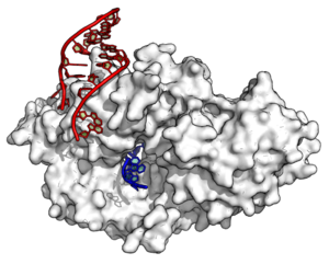 Non-coding RNA - Image: YRNA Ro 60