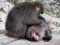Yakusaru monkey.JPG